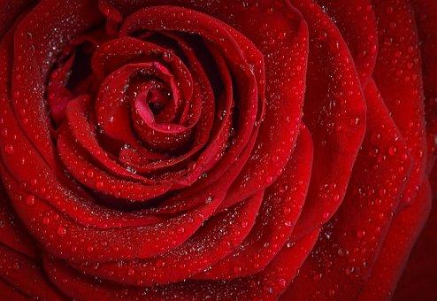 Rose via Pixabay