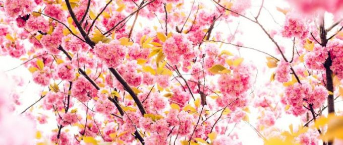 close up of pink blossom tree and yellow petals